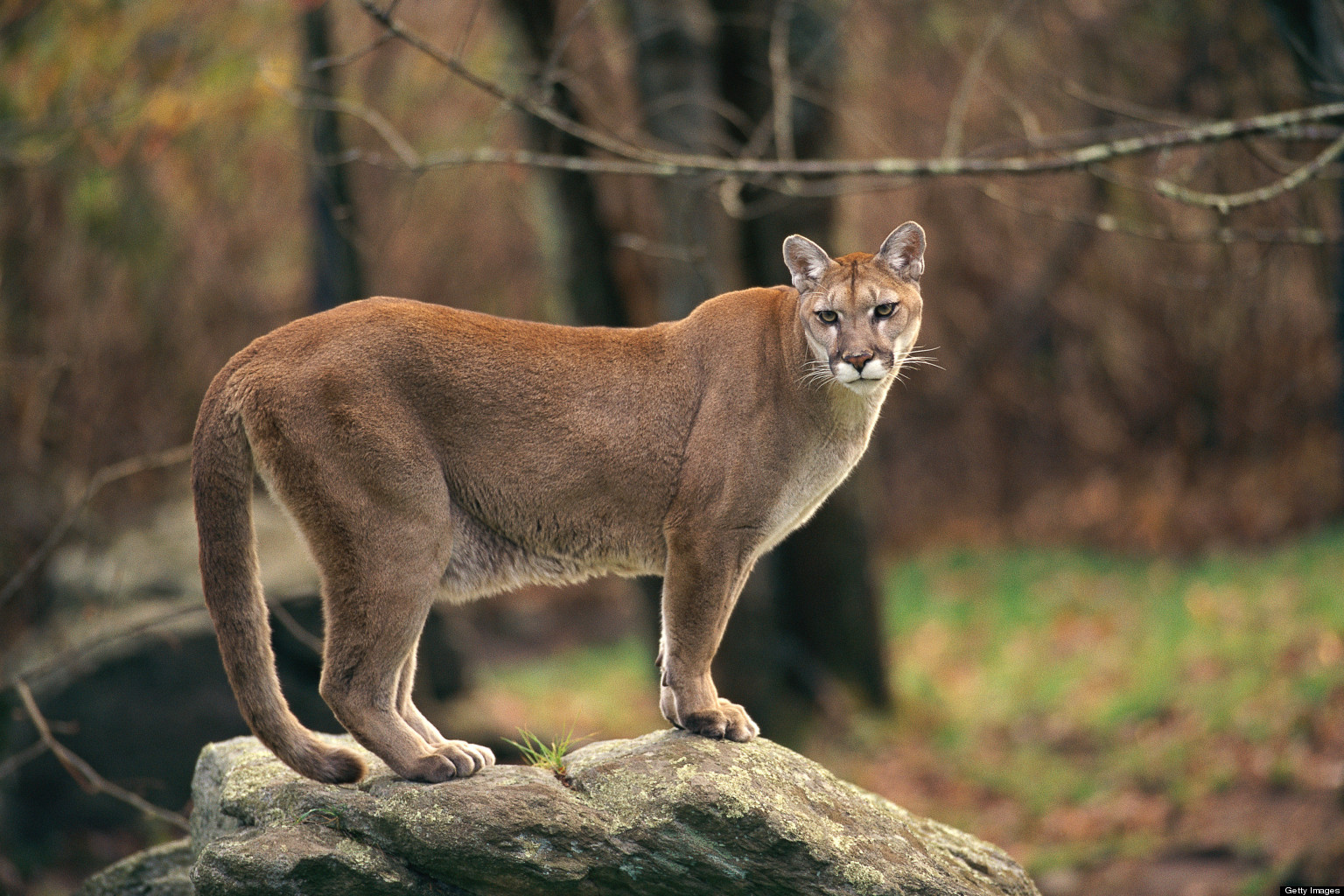 cougar sightings close coquitlam park. Black Bedroom Furniture Sets. Home Design Ideas