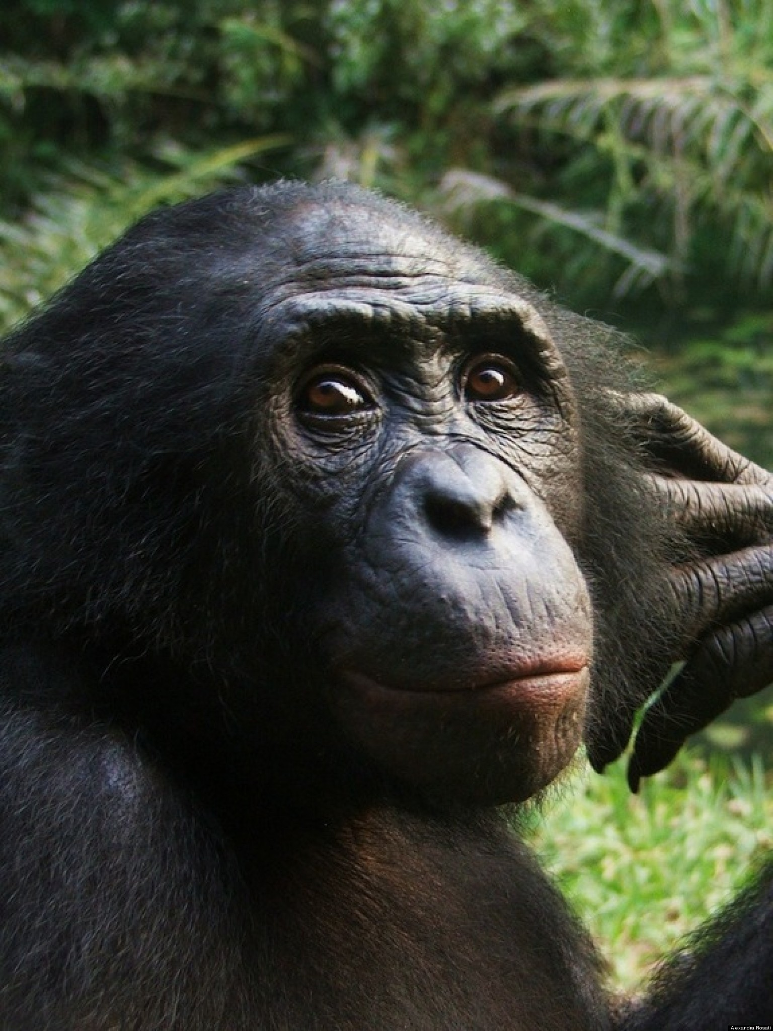 Chimpanzee Anger Research Shows Humans Aren't Only ...