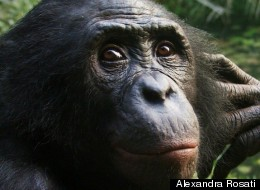 What Ape Outbursts Reveal About Human Evolution