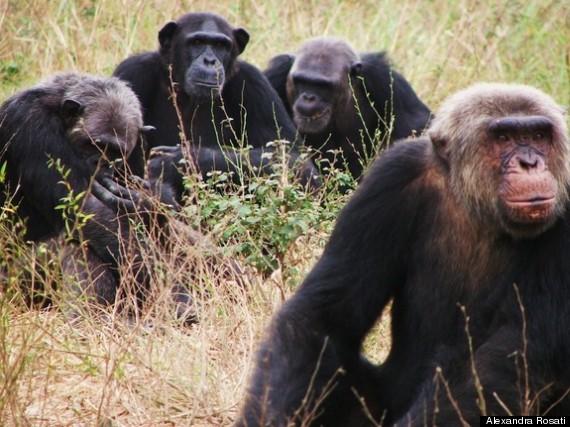 apes temper tantrums