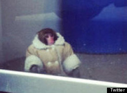 No Eviction Notice For Ikea Monkey