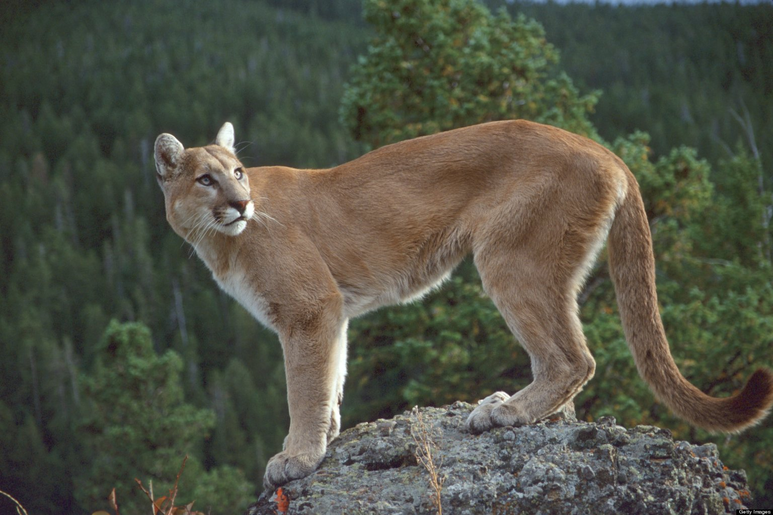 cougar shot in coquitlam river park. Black Bedroom Furniture Sets. Home Design Ideas
