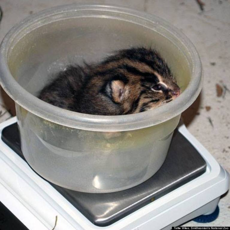 fishing cat kitten