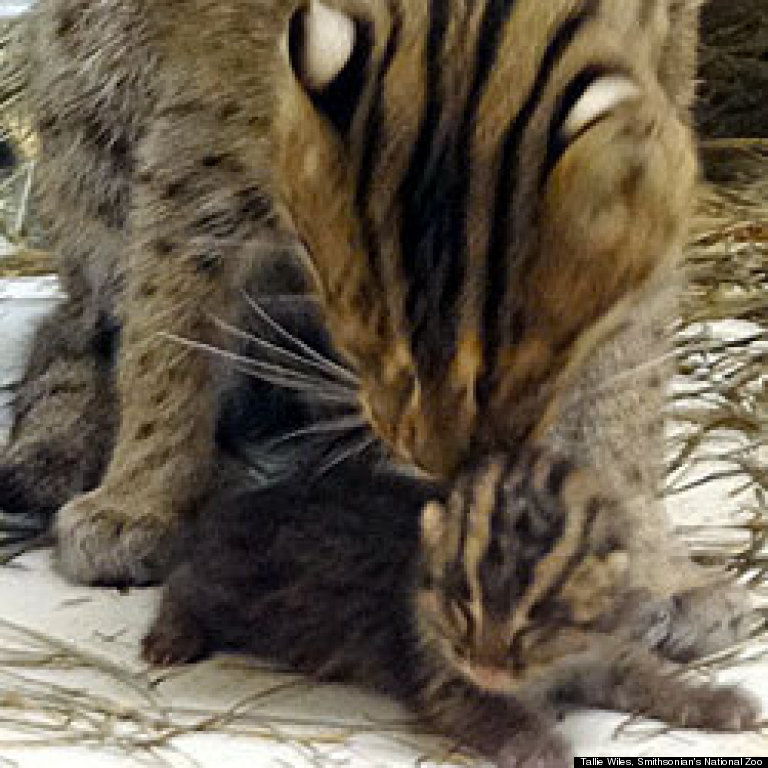African Fishing Cat Fishing Cat Kitten