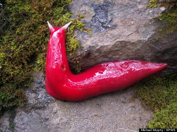 pink slugs