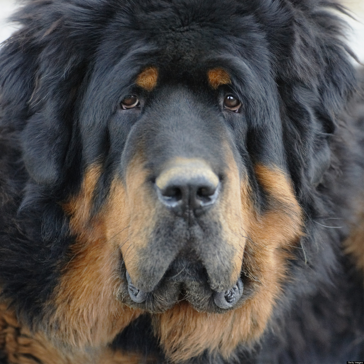 Tibetan Mastiff Bite Force | www.pixshark.com - Images ...