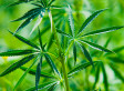 Bloomberg: Medical Marijuana 'One Of The Greatest Hoaxes Of All Time'