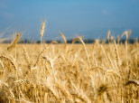 GMO Wheat Remains A Mystery