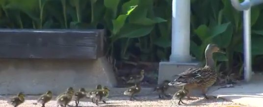 ducklings hospital
