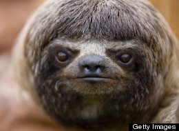 Giving Sloths Starpower To Save Their Lives
