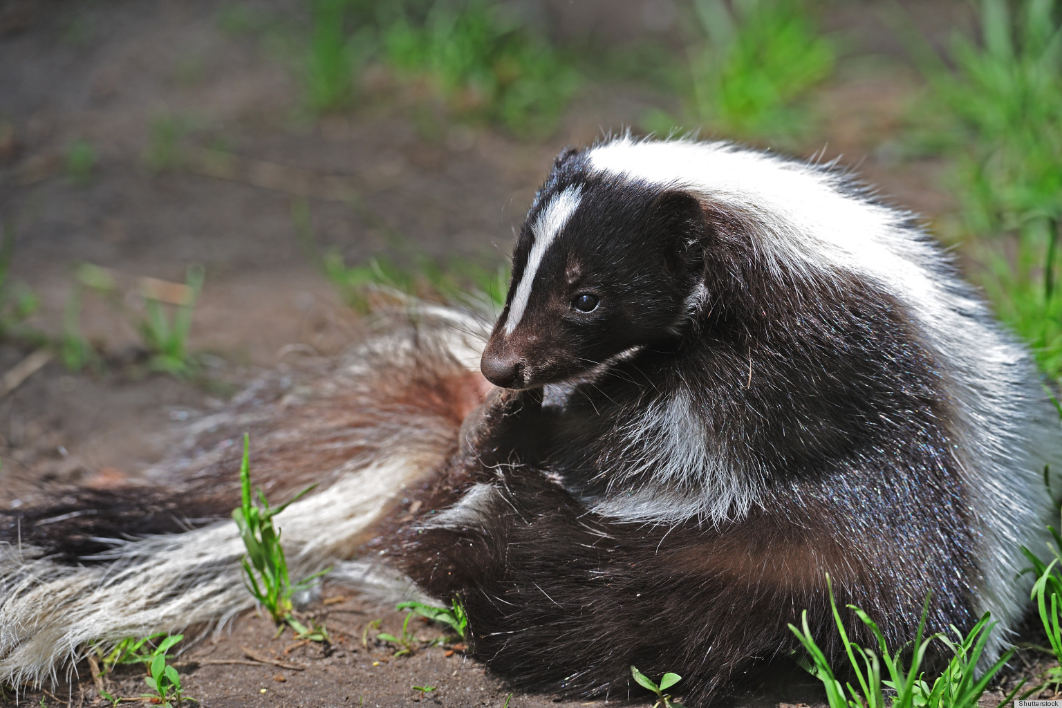 Removing Odors From Home remove skunk odors from your home with just some vinegar | huffpost