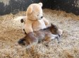 Breeze The Orphaned Foal Finds Comfort In Jumbo Teddy Bear (VIDEO)
