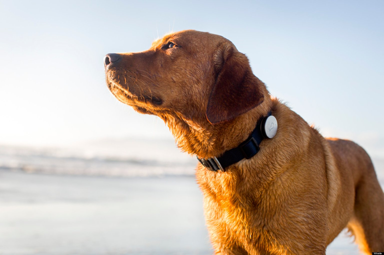 Whistle Dog Collar Lets You Follow Fido 39 S Every Move