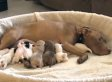 Pit Bull Adopts Orphaned Shih Tzu Puppies (VIDEO)