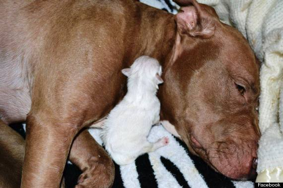 Pit Bull Adopts Orphaned Shih Tzu Puppies Video Huffpost