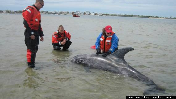 dolphin rescued oak beach new york