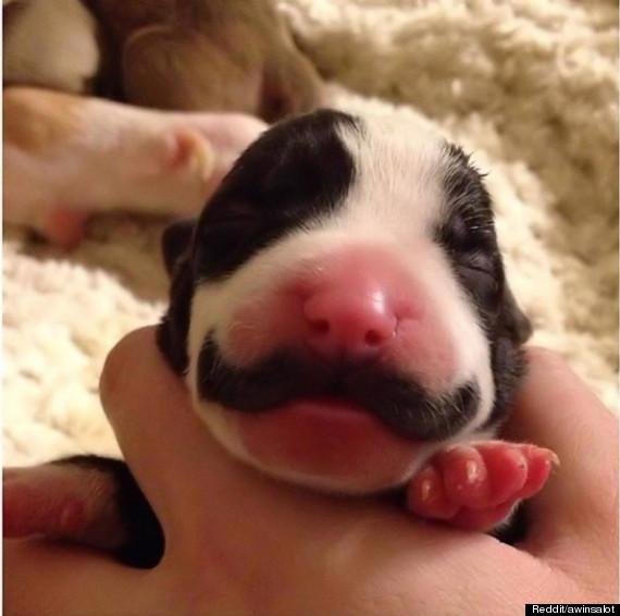 puppy moustache