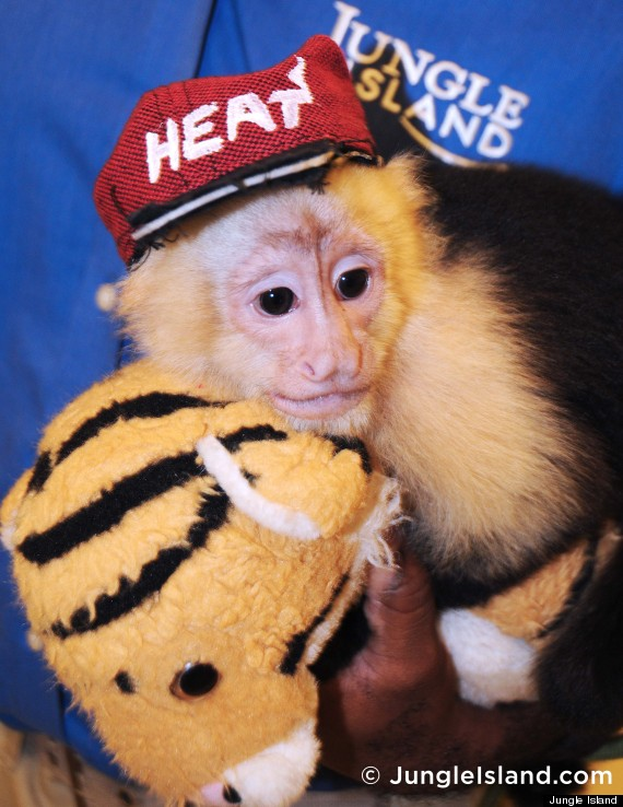 capuchin monkey heat gear