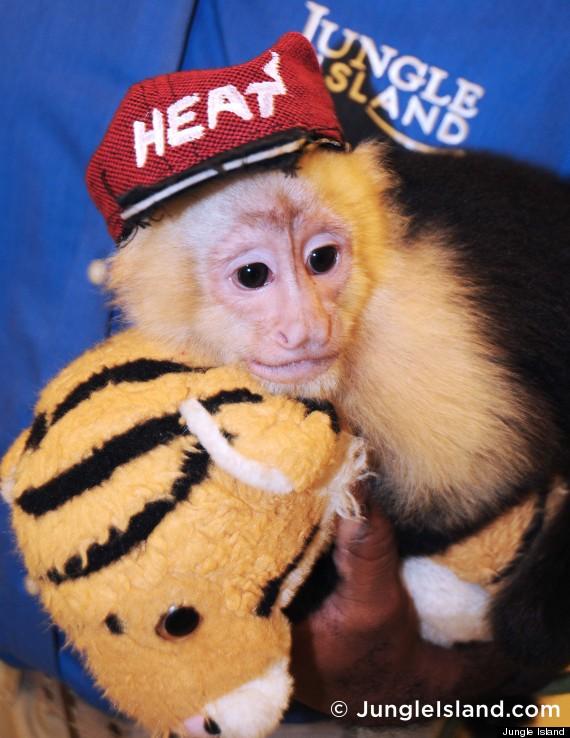 capuchin monkey heat gear