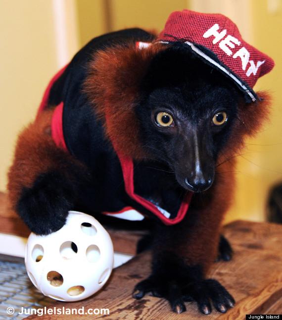 lemur in heat gear