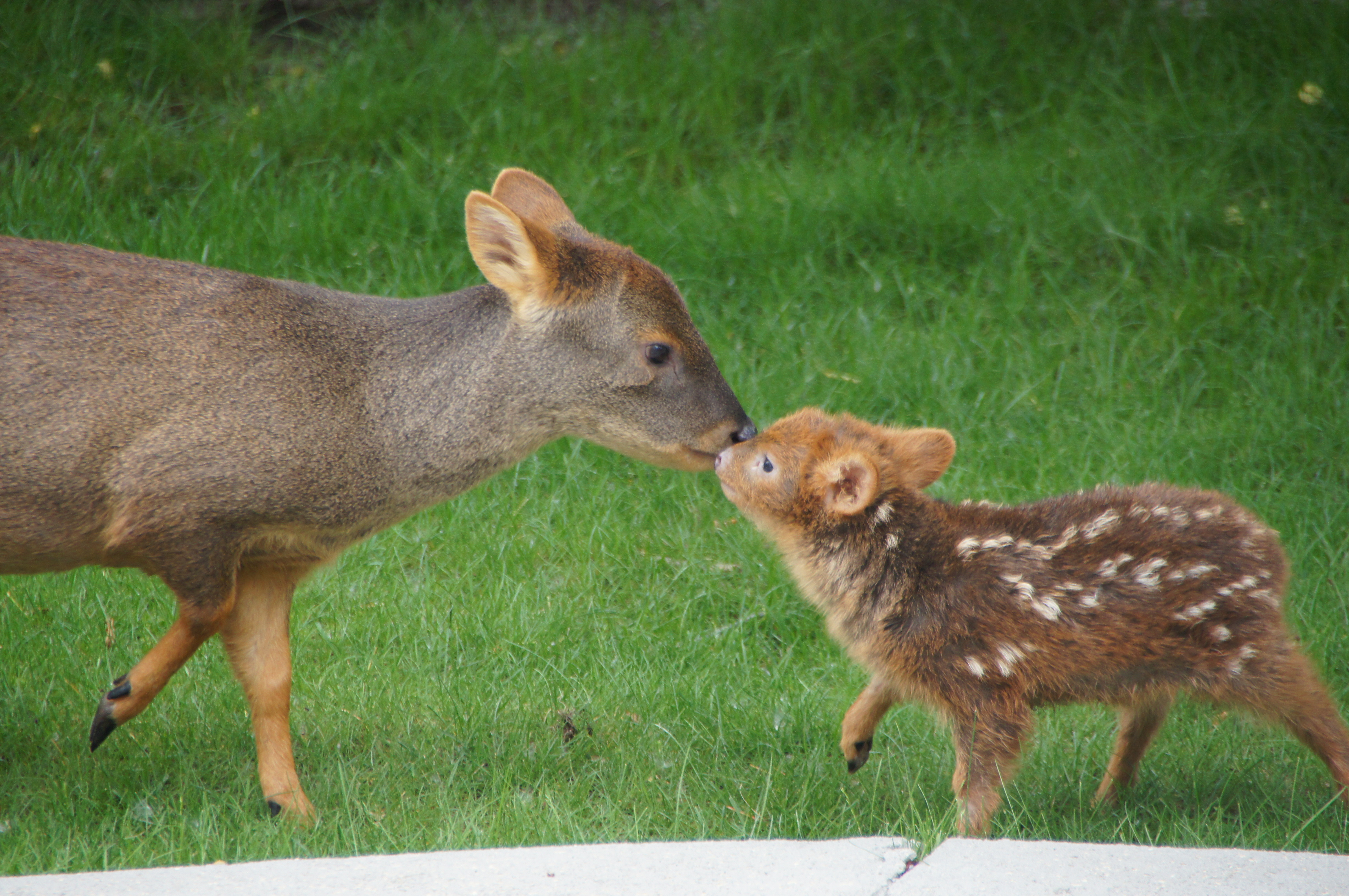 Baby Pudu, A Tiny Deer, Is Ridiculously Adorable, And She ...