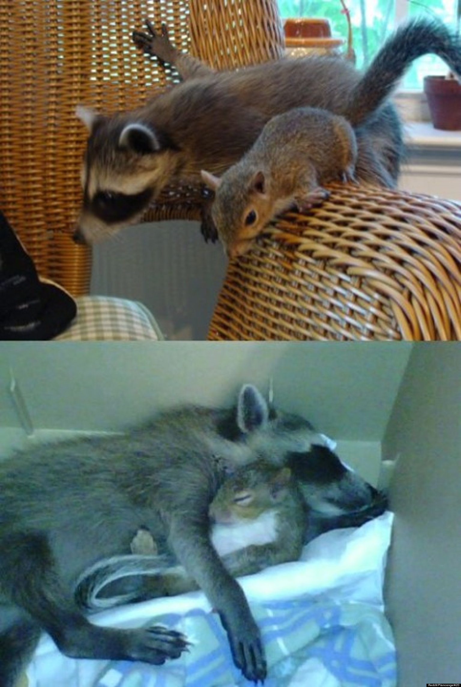 animals raccoons weasels friends - photo #10