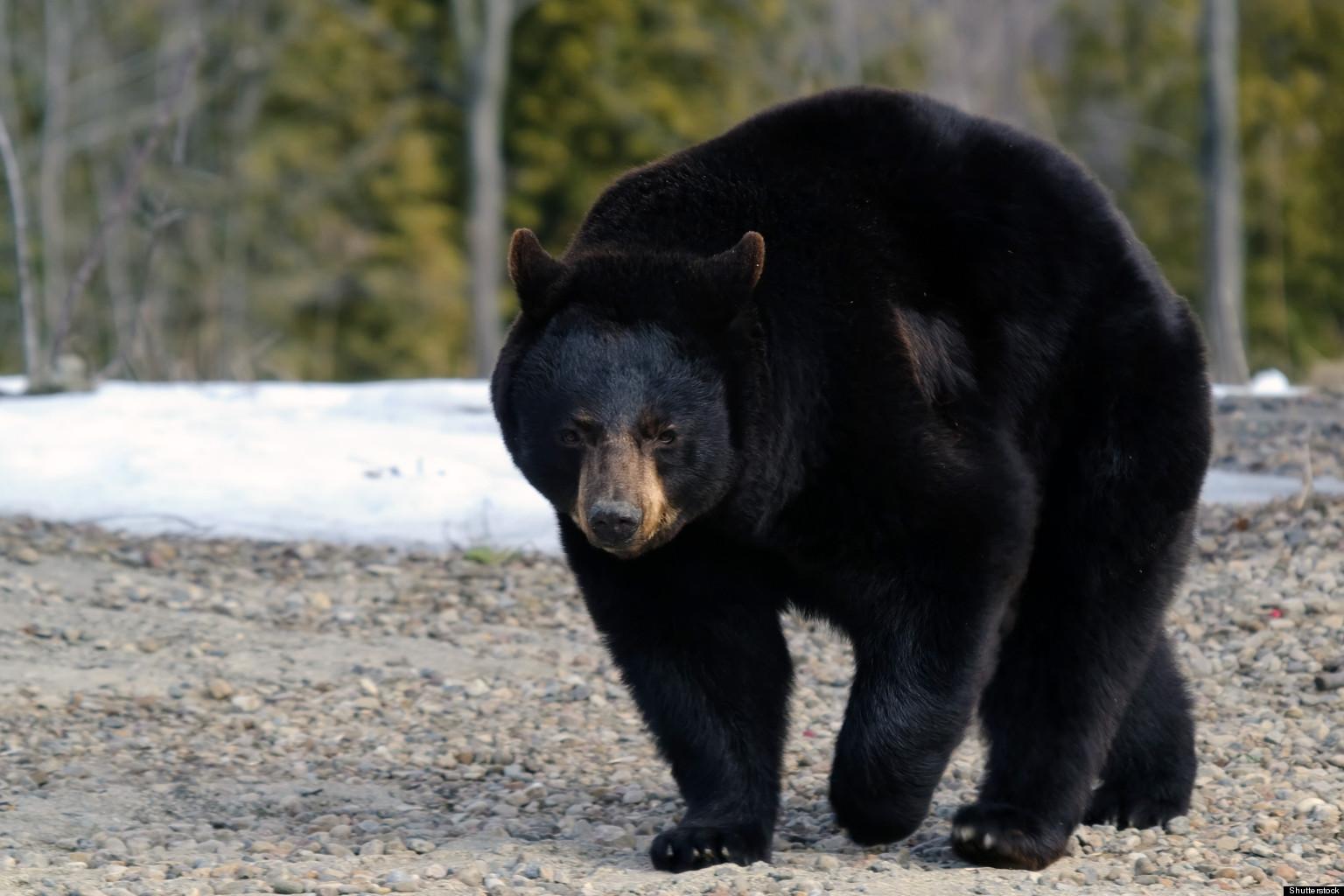 killer bear likely dead in surrey