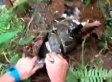 Cat Choked By Boa Constrictor, Saved By Man Who Wrestles Snake Away (VIDEO)