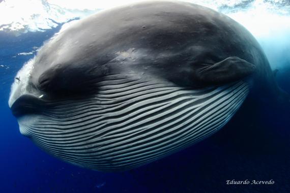 brydes whale feeding