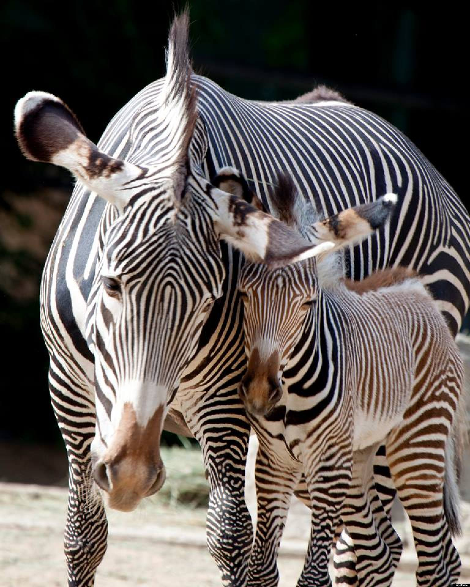 Denver Zoo Welcomes Birth Of Endangered Grevy's Zebra Foal