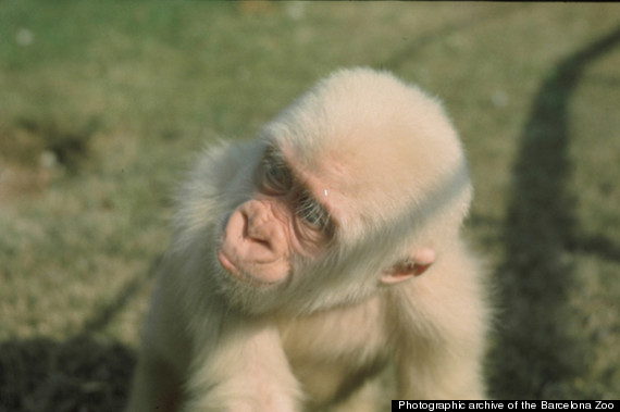 albino gorilla inbred