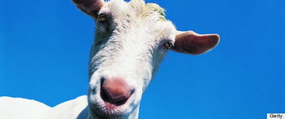 He's kidding us, right? Man claims sex with a goat is his constitutional right