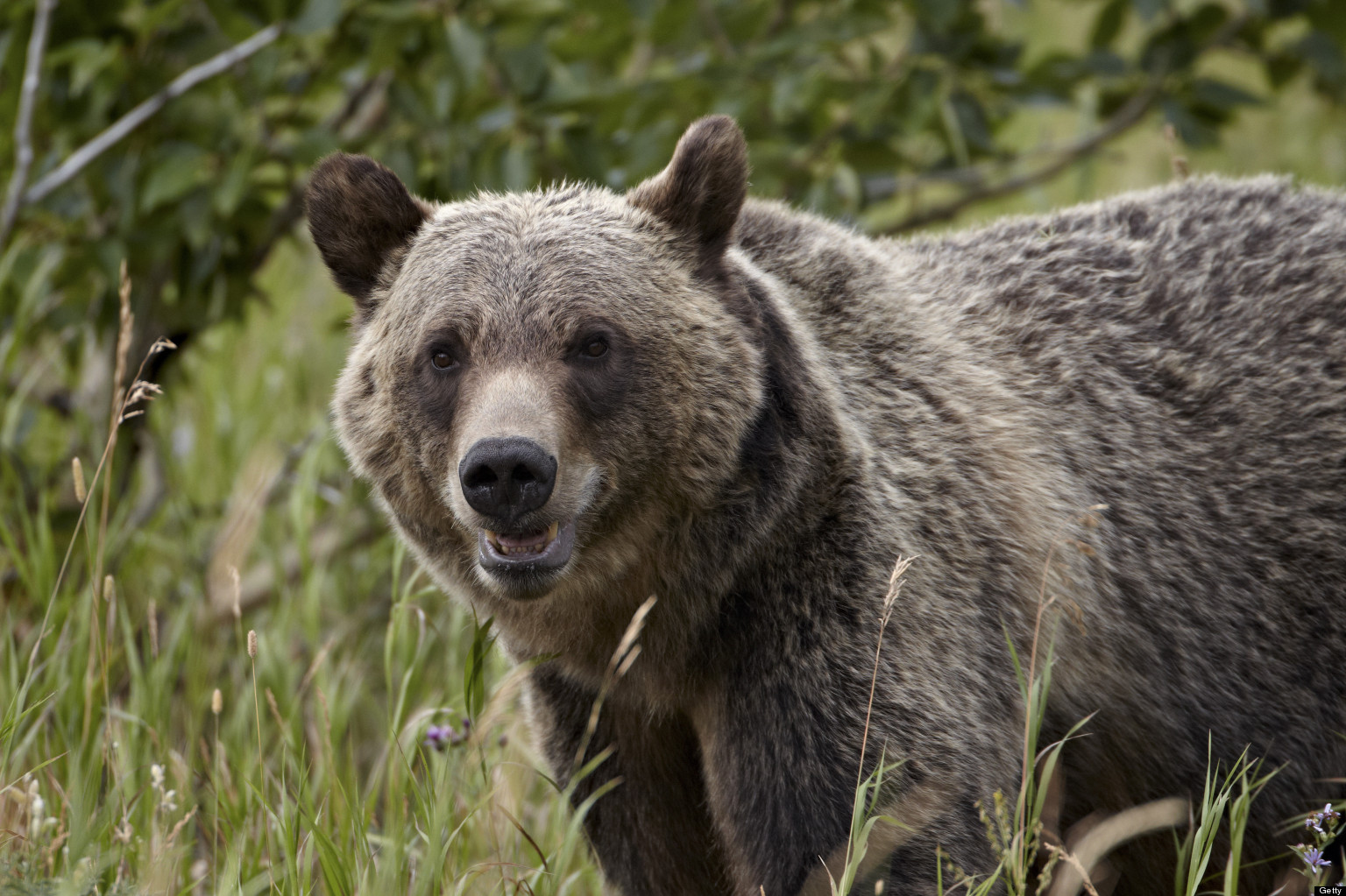 Grizzly Bear Profile Face Grizzly Bear 100 Meter Dash