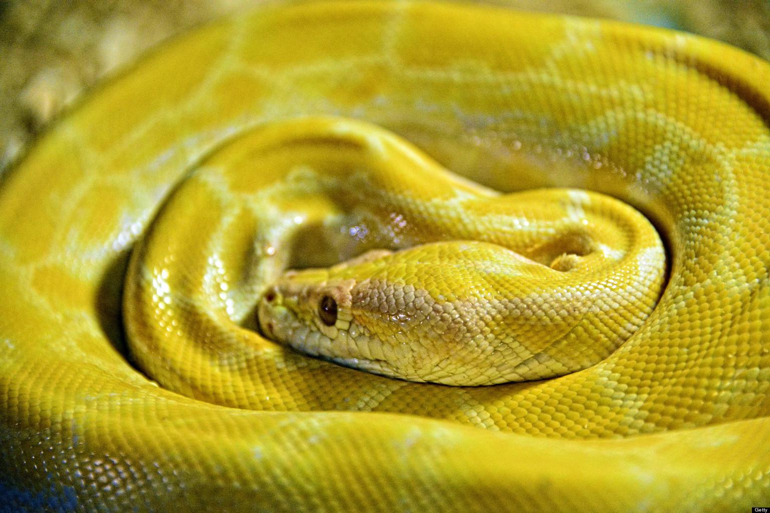 Albino Python Found Sl...