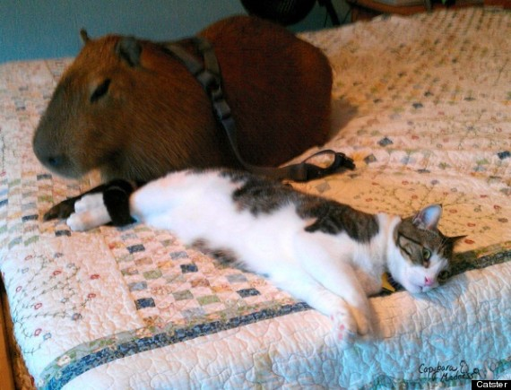 Capybara Rodent Of Unusual Size Loves To Hug Cats