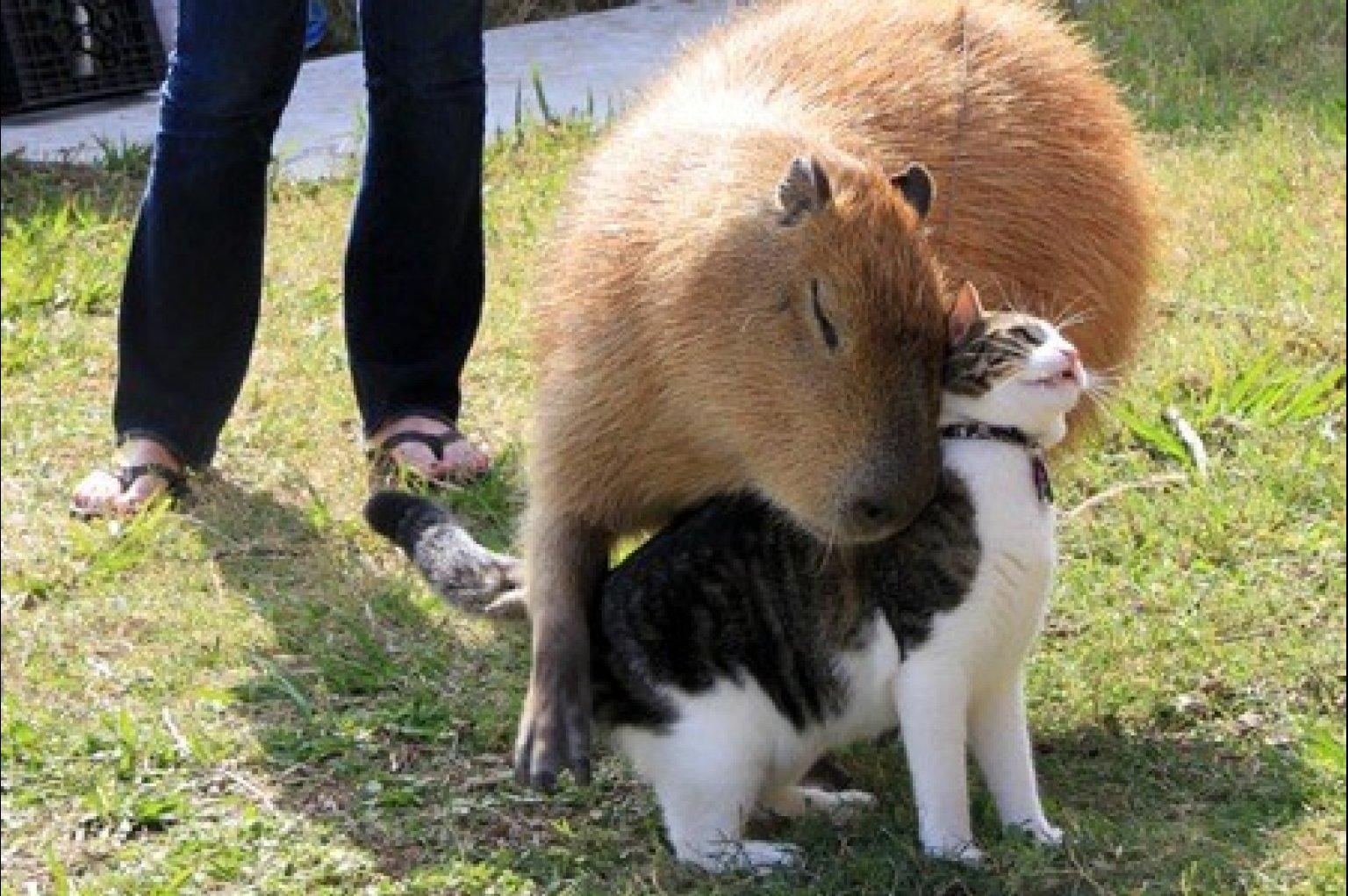 CAPYBARA-HUGS-CAT-facebook.jpg