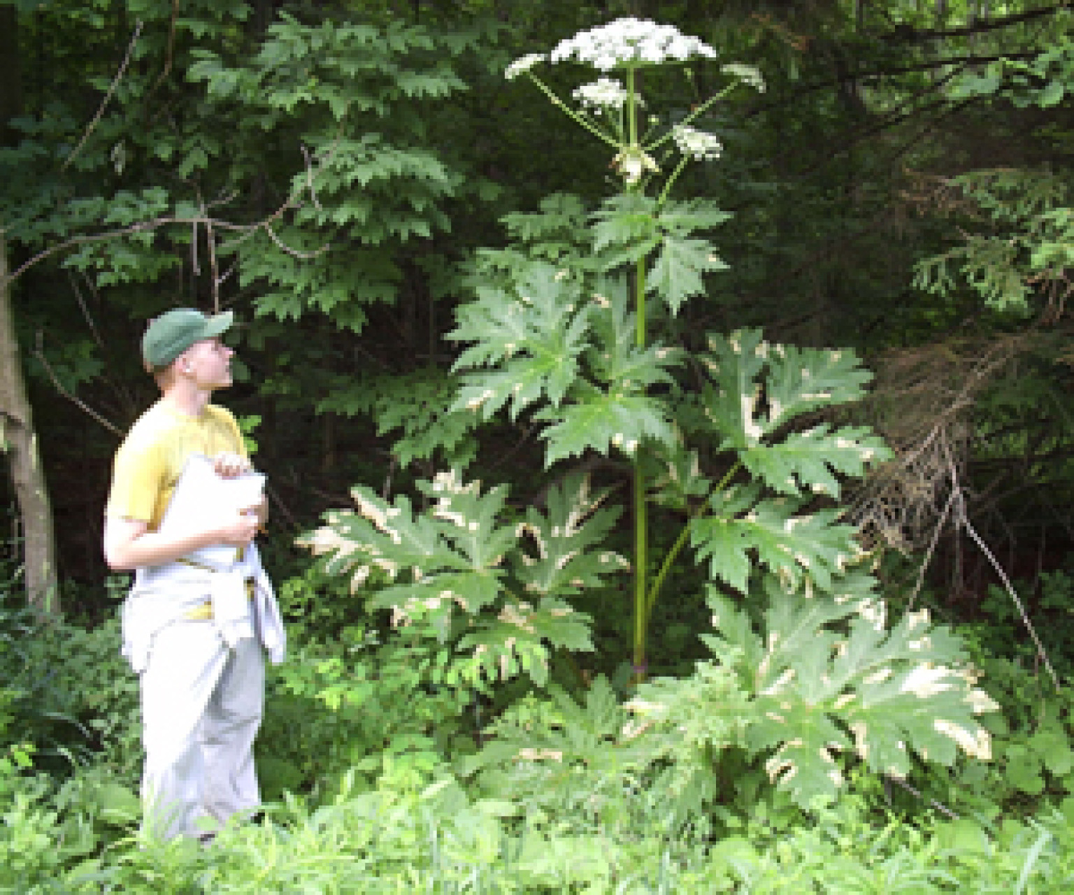 Giant Hogweed Plant May Cause Blindness Severe Skin Irritation And Scarring So Don T Touch It Huffpost
