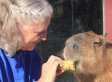 Gary The Capybara Lives A Dog's Life Despite Being A Rodent (VIDEO)