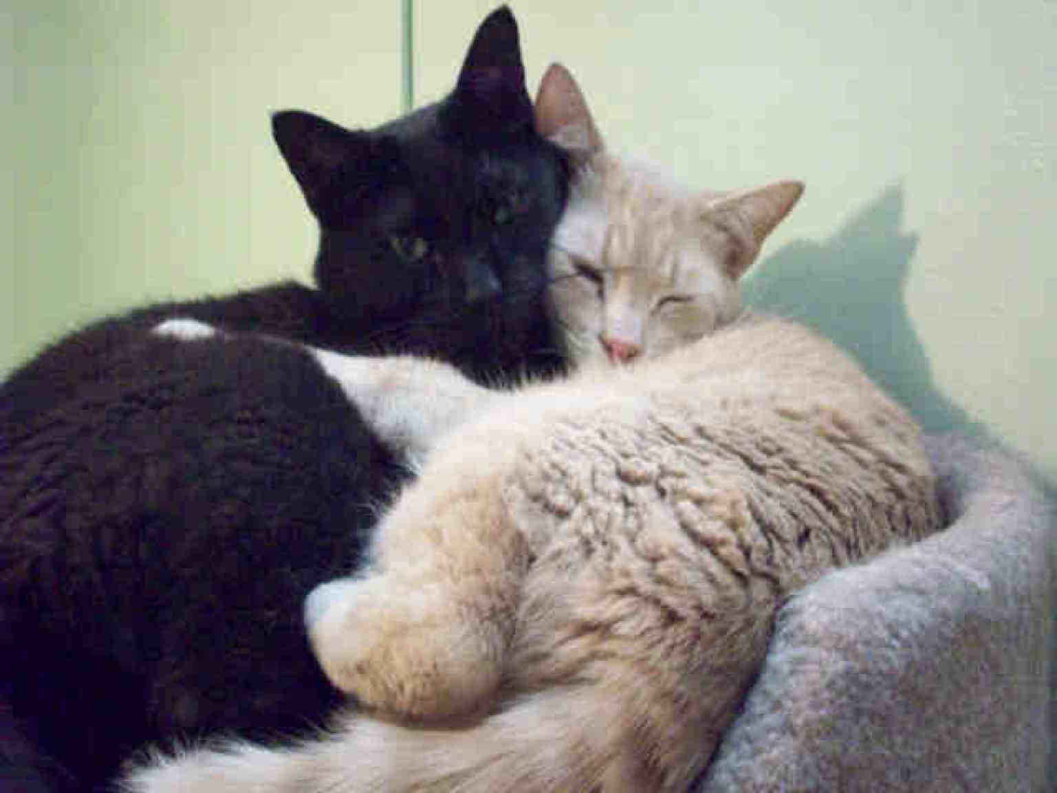 Adopt A Shelter Cat Month Facebook Image