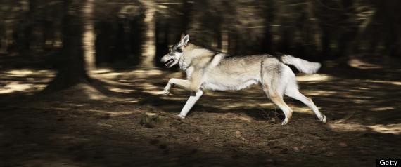 Tim Bartlett wolf chase