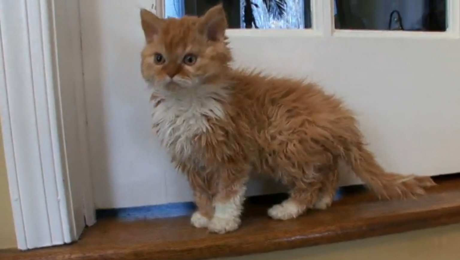Poodle Cat New Breed Of Feline Is Adorably Fluffy Video