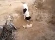 Dog Buries Dead Puppy In Astounding Act Of Mourning (VIDEO)