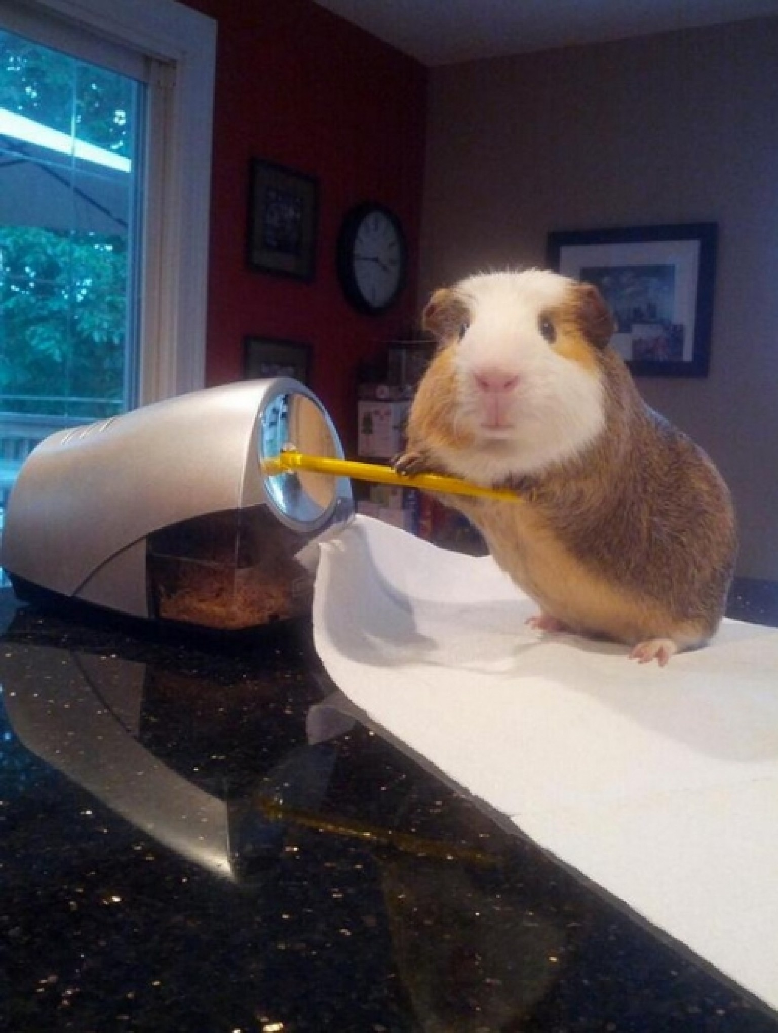 how to teach your guinea pig to follow you
