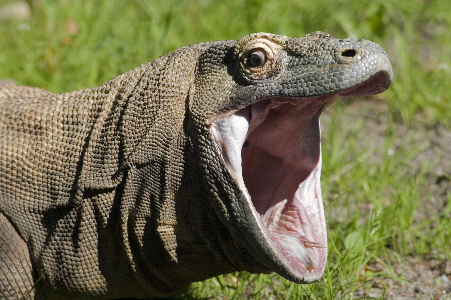 komodo dragon bacteria less toxic than previously thought