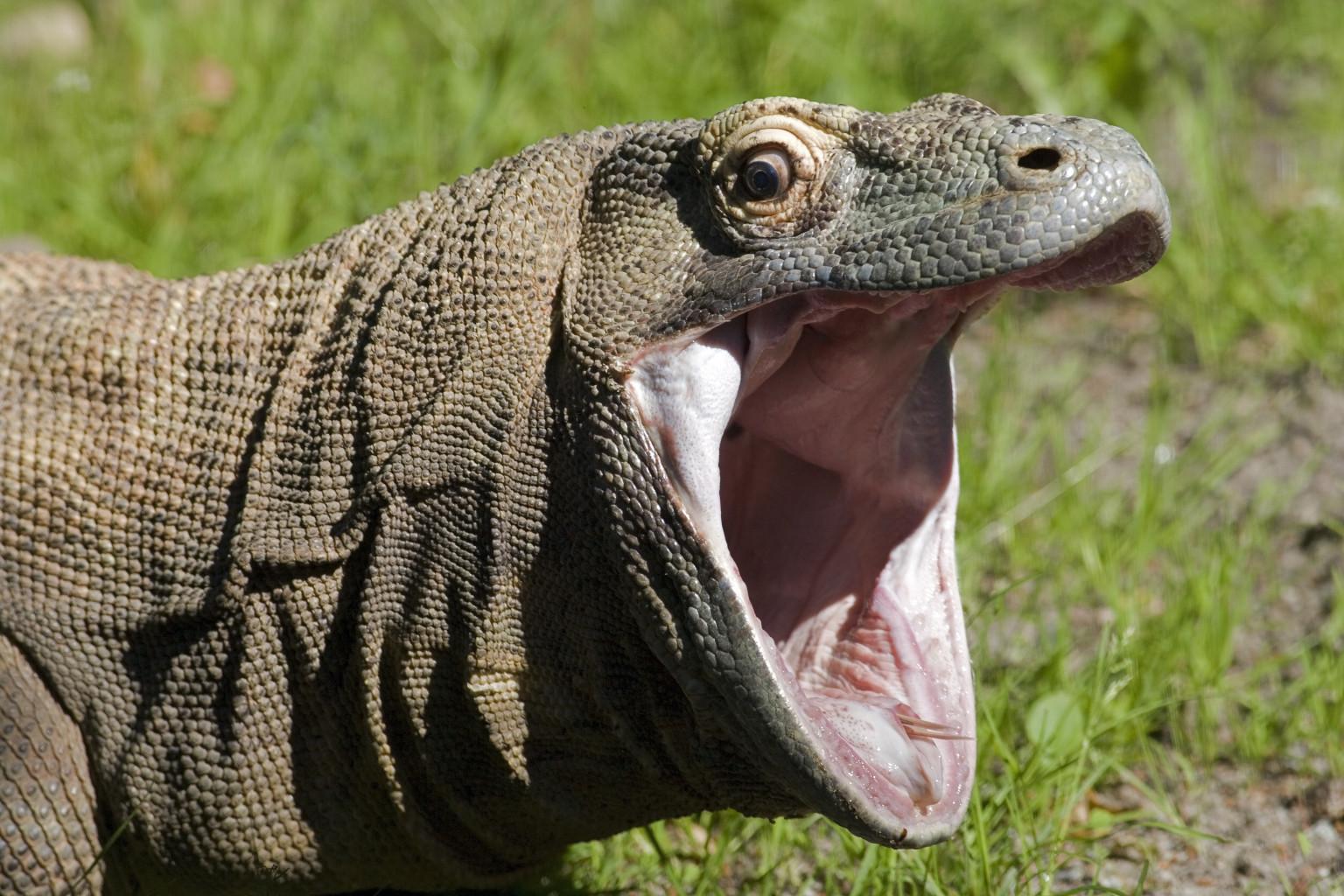 Komodo Dragon: Komodo Dragon Bacteria Less Toxic Than Previously Thought