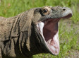Komodo Dragon Bacteria Less Toxic Than Previously Thought, Research Suggests