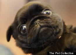 ADORABLE: Baby Pug Winking In Slow-Mo Will Melt Your Heart