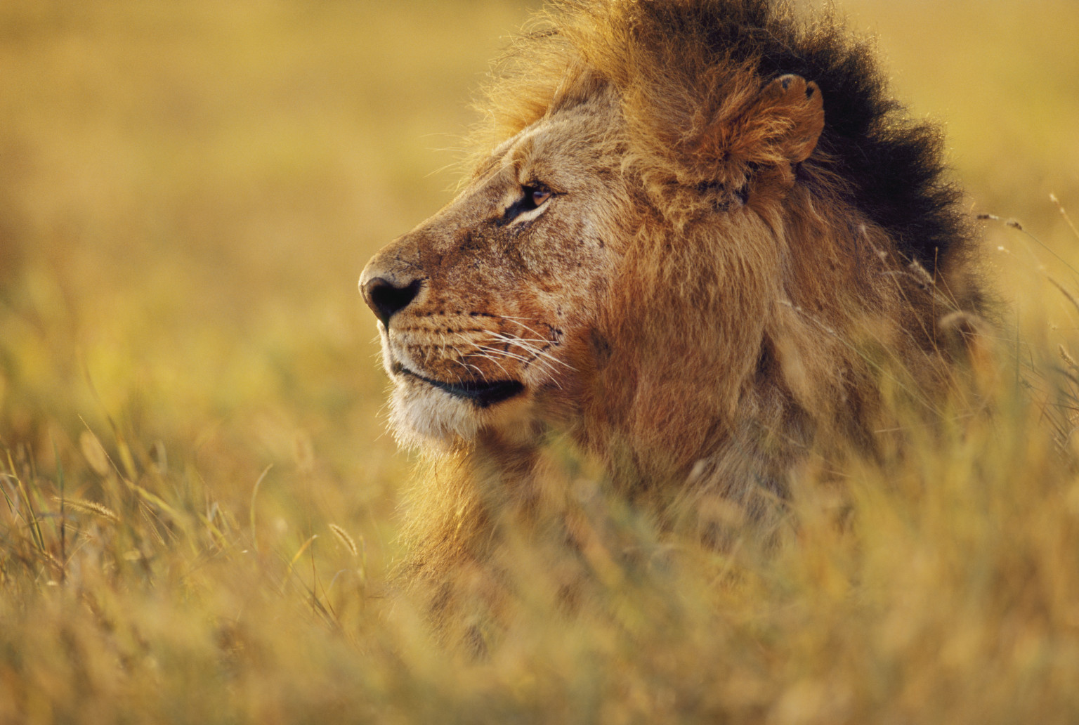 A Mozambican Lion Story: Working to Save Africa's Lions ...