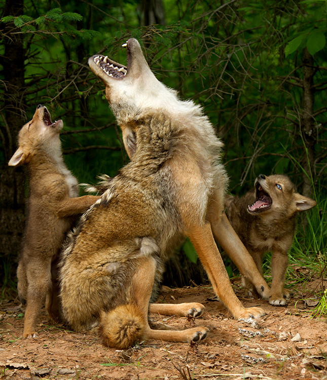 howling lessons  Coyote