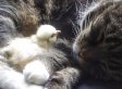 Chick Sleeps On Cat Friend During The Cutest Nap Ever (VIDEO)